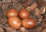 NZ Falcon eggs