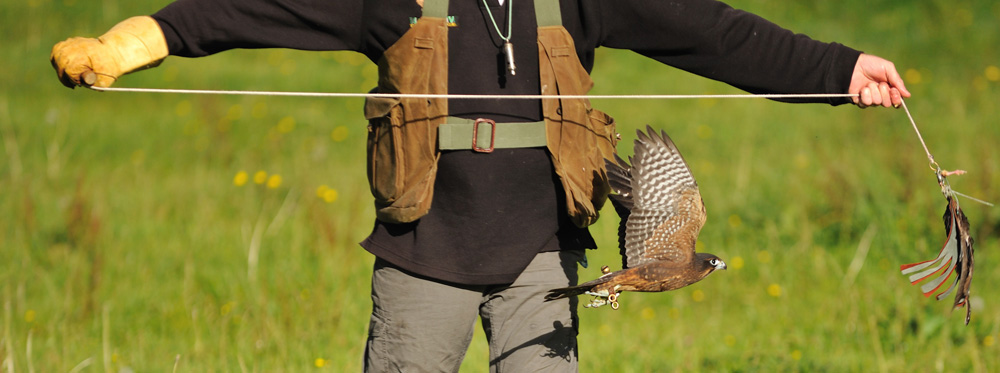 Falconer at Wingspan training an NZ falcon