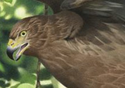Extinct NZ bird of prey Eyles Harrier