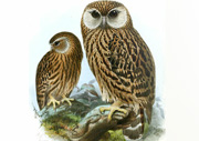 NZ extinct laughing owl
