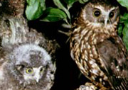 Morepork Owl and Chicks