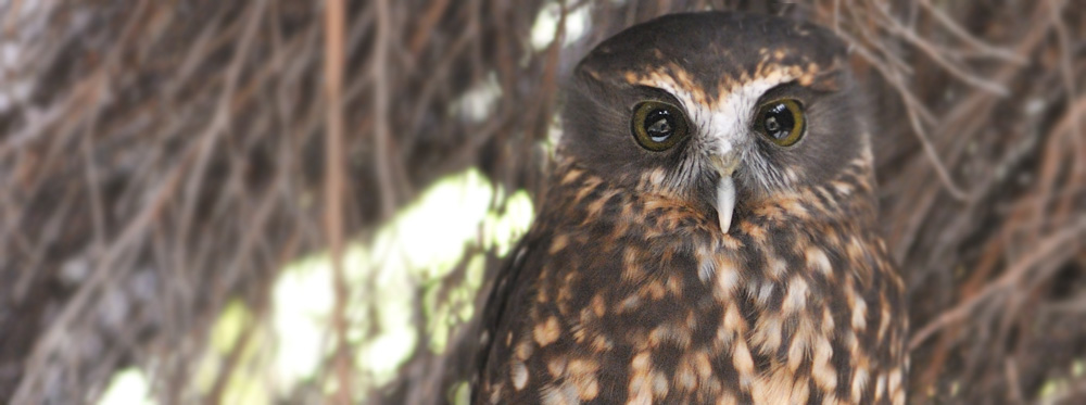 New Zealand Morepork native owl