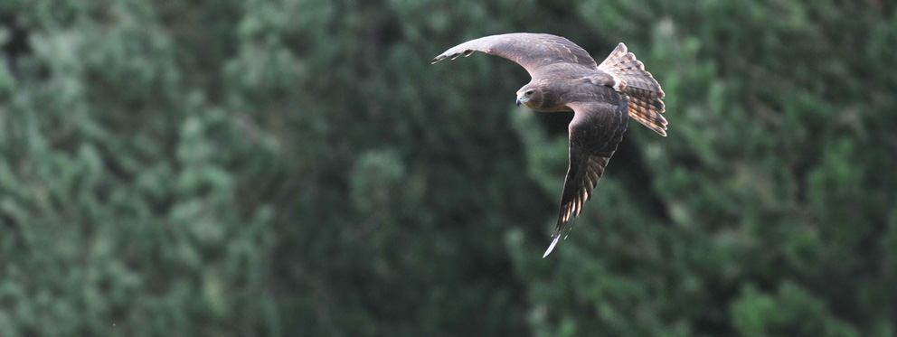 NZ Swamp Harrier